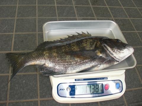浜名湖 黒鯛