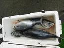 大漁カツオ