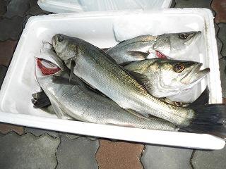 大漁のセイゴ