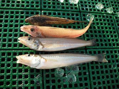 キス 三河湾 秋の釣り
