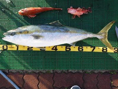 ぶり 冬の魚 愛知