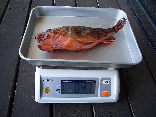 カサゴ 30cm