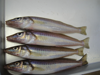 姫島周辺 キス釣り