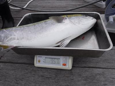 伊良湖 ブリ