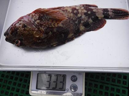 三河湾 魚 6月